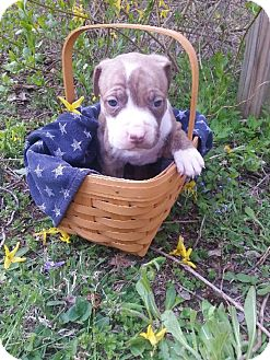 American Pit Bull Terrier Mix Puppy for adoption in Roaring Spring, Pennsylvania - Male # 3