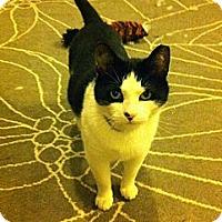Domestic Shorthair Cat for adoption in Brooklyn, New York - Stapley