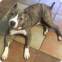 Adopt A Pet :: Tigra - Kansas City, MO