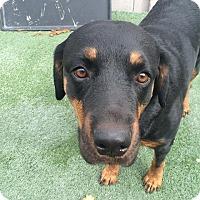 Adopt A Pet :: Pebbles - Henderson, NV