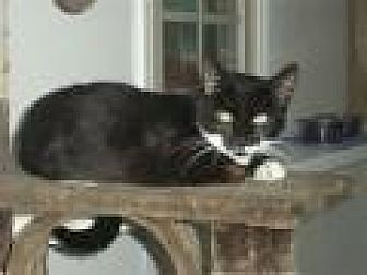 Domestic Shorthair Cat for adoption in Ashland, Ohio - Boots