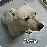Adopt A Pet :: dottie - muskogee, OK