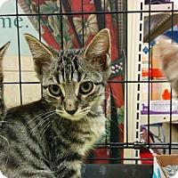 Adopt A Pet :: Percival - Hurst, TX