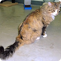 Domestic Longhair Cat for adoption in Creston, British Columbia - Mel