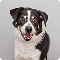 Border Collie/Australian Shepherd Mix Dog for adoption in Mission Hills, California - Scooter