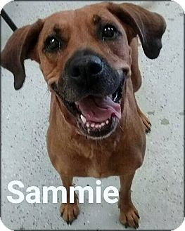 Redbone Coonhound Mix Dog for adoption in Ottumwa, Iowa - Sammie