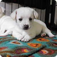 Adopt A Pet :: 3 male chihuahua mixes - mooresville, IN