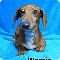 Adopt A Pet :: Weenie - Batesville, AR