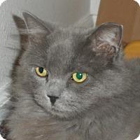 Domestic Mediumhair Cat for adoption in Denver, Colorado - BABYFACE