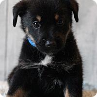 Adopt A Pet :: Opie - Waldorf, MD
