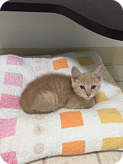 Domestic Shorthair Kitten for adoption in Bryan, Ohio - Manny