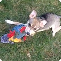 Australian Shepherd/Chihuahua Mix Puppy for adoption in Providence, Rhode Island - Leo