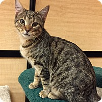 Domestic Shorthair Cat for adoption in Barrington Hills, Illinois - Maggie
