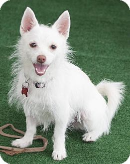 Terrier (Unknown Type, Medium) Mix Puppy for adoption in San Diego, California - Taffy