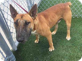 Bull Terrier Dog for adoption in Texas City, Texas - GAVIN