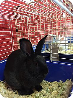 Mini Rex Mix for adoption in Elyria, Ohio - Nibbles