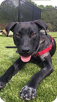 Labrador Retriever Mix Puppy for adoption in Okatie, South Carolina - RUMBLE
