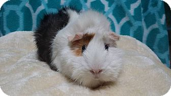 Guinea Pig for adoption in South Bend, Indiana - Coco