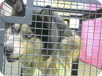 Husky Mix Dog for adoption in San Bernardino, California - URGENT on 12/3 @DEVORE