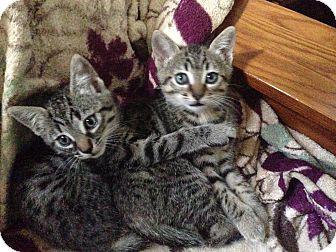 American Shorthair Kitten for adoption in San Jose, California - Millie