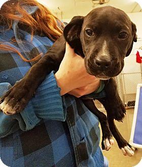 Labrador Retriever Mix Puppy for adoption in Kalamazoo, Michigan - Betty