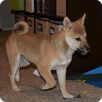 Adopt A Pet :: Smidgeon Midget - Loveland, CO