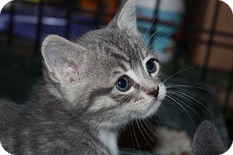American Shorthair Kitten for adoption in Santa Monica, California - Catness