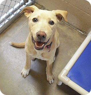 Labrador Retriever Mix Dog for adoption in Wickenburg, Arizona - Leia