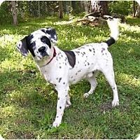 Adopt A Pet :: Pinto - Mocksville, NC