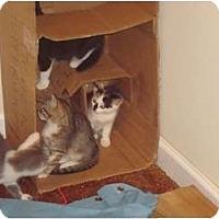 Adopt A Pet :: Mummer's Kittens - Warminster, PA