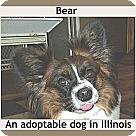 Adopt A Pet :: Bear (in Illinois)