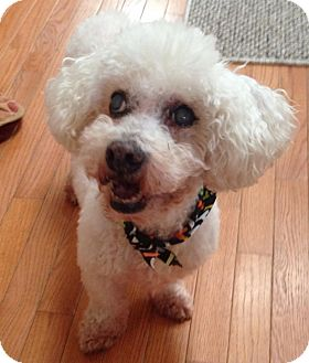 Bichon Frise Mix Dog for adoption in Wilmington, Delaware - Henry