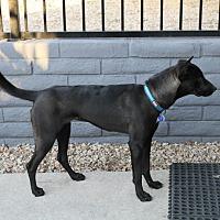 Dutch Shepherd Mix Dog for adoption in Phoenix, Arizona - Willow