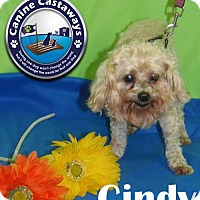 Poodle (Miniature)/Maltese Mix Dog for adoption in Arcadia, Florida - Cindy