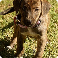 Adopt A Pet :: Alfie - Windham, NH