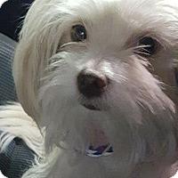 Adopt A Pet :: Scooter - Las Vegas, NV