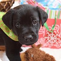Adopt A Pet :: 7 week old lab mix puppies - Albemarle, NC