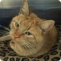 Adopt A Pet :: Shiva - Fairfax, VA