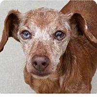 Adopt A Pet :: Dandy - Springdale, AR