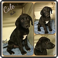 Adopt A Pet :: Cole-Adoption pending - Manchester, CT