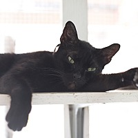 Adopt A Pet :: Cat 1 - Houston, TX