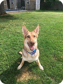 German Shepherd Dog Dog for adoption in New York, New York - Armando ...
