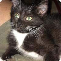 Adopt A Pet :: Taffeta - Duluth, GA