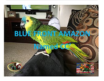 Amazon for adoption in Vancouver, Washington - CC Blue Front Amazon
