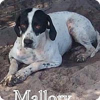 Pointer Dog for adoption in New Smyrna beach, Florida - Mallory