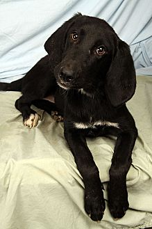 Hound (Unknown Type)/Labrador Retriever Mix Dog for adoption in St. Louis, Missouri - Cookie Houndador