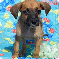 Boxer/Retriever (Unknown Type) Mix Puppy for adoption in Niagara Falls, New York - Tallula (6 lb) Video!