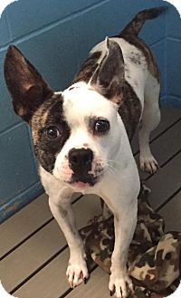 Boston Terrier Mix Dog for adoption in Joplin, Missouri - Oreo
