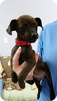 Terrier (Unknown Type, Small) Mix Puppy for adoption in Hawk Point, Missouri - Cindy