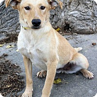 Adopt A Pet :: CARLY - Westminster, CO